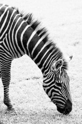 Poster Schwarz-Weiß-Foto von Zebra
