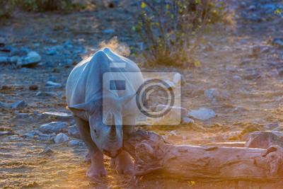 Schwarze Nashörner am späten Nachmittag mit einem Frieden des Baumes, um sein Gesicht zu kratzen. Nord-Namibia, Afrika