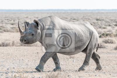 Schwarzes Nashorn bedeckt mit weißem, kaltem Staub, zu Fuß
