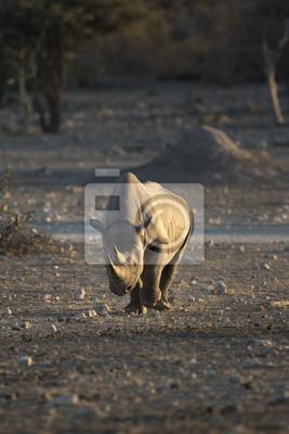 Schwarzes Nashorn im Etosha Nationalpark.