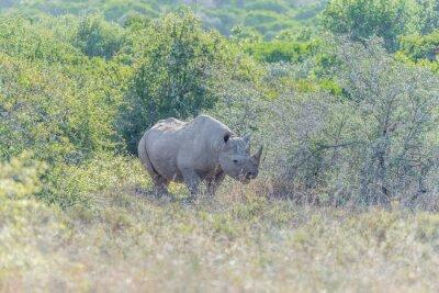 Schwarzes Nashorn versteckt im Schatten