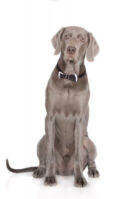 Poster Schwere weimaraner Hund Porträt in einer Fliege
