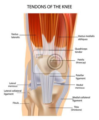 Sehnen an der vorderseite des knies. knie anatomie wandposter ...