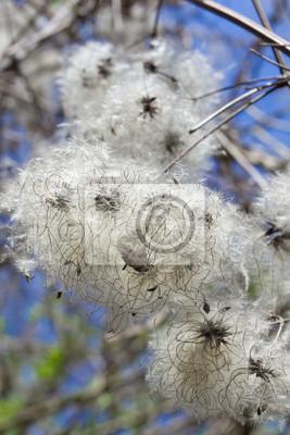 Seltsame Blüten, Samen in die weiße Tupfer.
