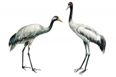 Poster set of beautiful birds crane on isolated white background, watercolor illustration