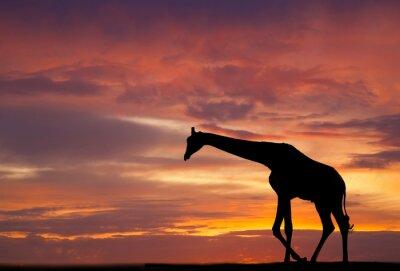 Poster Silhouette einer Giraffe gegen einen wunderschönen Sonnenuntergang