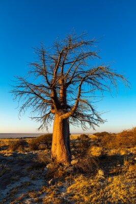 Single baobab tree at sunrise on Kubu Island