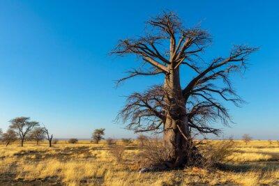 Single dry baobab tree on Kukonje Island