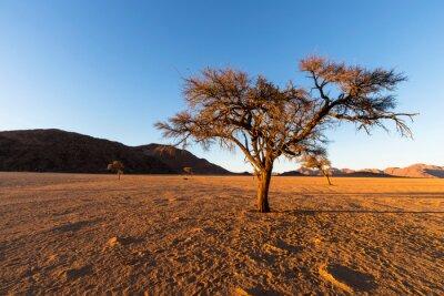 Single dry camel thorn tree in arid Namib Desert