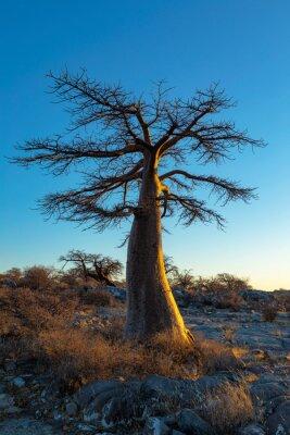 Single young baobab tree at sunrise on Kubu Island