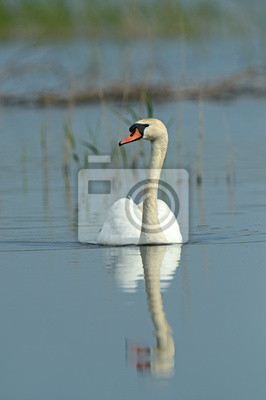 Singschwan fliegen über Feuchtgebiete