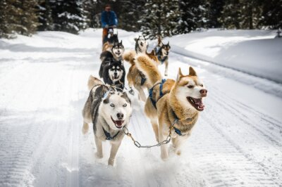 Poster sled dogs