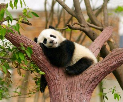 Poster Sleeping Giant Panda-Baby
