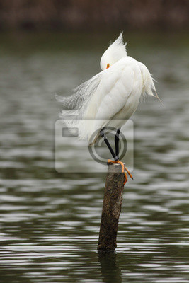 snowy egret poster f r die wand poster fl gel silberreiher reiher. Black Bedroom Furniture Sets. Home Design Ideas