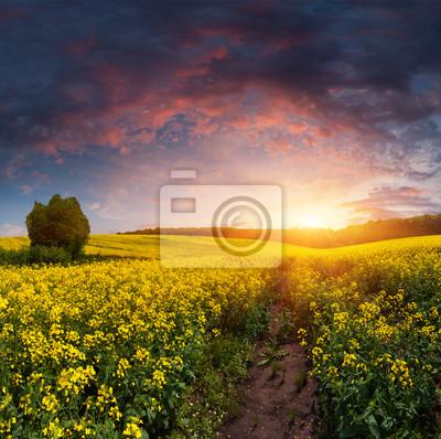 Sommerlandschaft mit einem Feld von gelben Blüten. Sunset