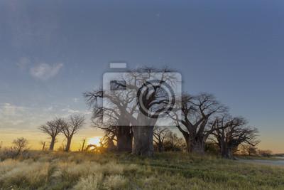 Sonnenaufgang bei Baines Baobab-Bäumen