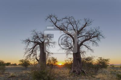 Sonnenaufgang zwischen zwei jungen Baobabbäumen
