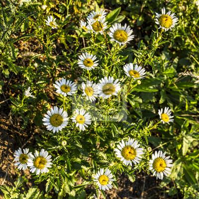 Sonnenschein wilden Gänseblümchen schauen hinunter