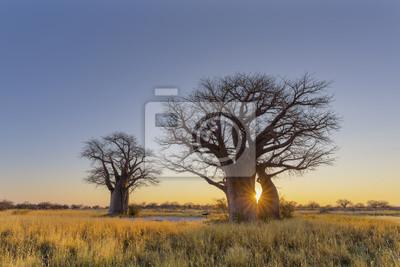 Sonnenstarburst bei Sonnenaufgang im Affenbrotbaum