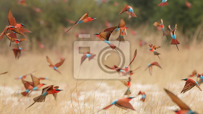 Poster Southern carmine bee-eaters