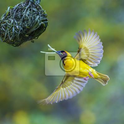Southern Masked Weaver im Krüger Nationalpark, Südafrika