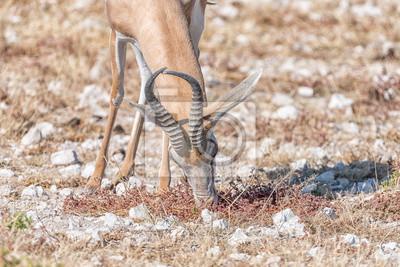 Springbock, Antidorcas marsupialis, weiden lassen