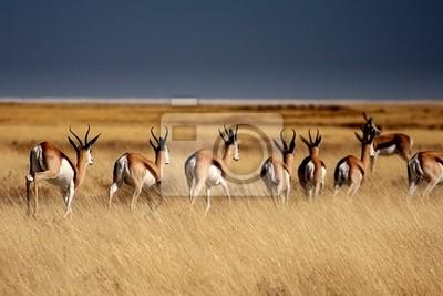 Poster Springböcke im Etosha Park - Namibia