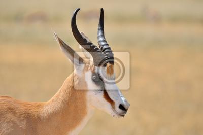Springbok in der Etosha National Park 1