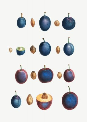 Poster Stages of a plum