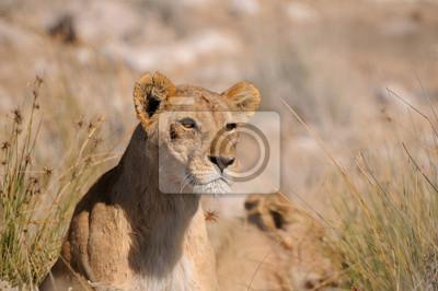 Starren Löwen