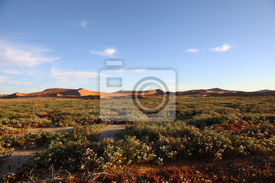Succelent Blumen im Namib Naukluft NP