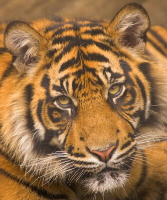Poster Sumatra-Tiger