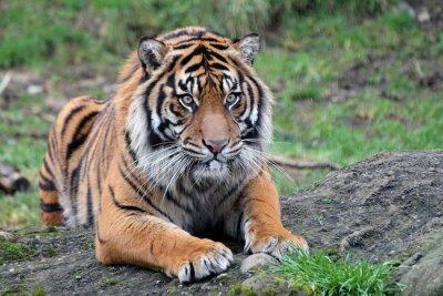 Poster Sumatra Tiger