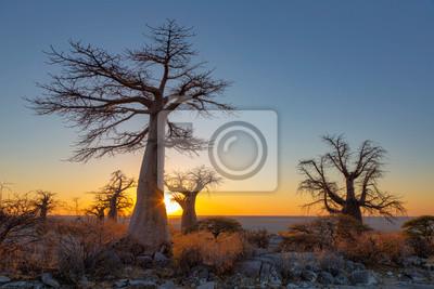 Sun starburst at sunrise at baobab trees