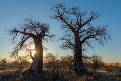 Sun starburst at sunrise behind baobab trees on Kukonje Island