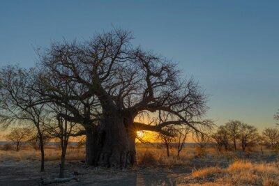 Sun starburst at sunset below large baobab tree on Kukonje Island