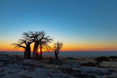 Sun starburst behind baobab trees