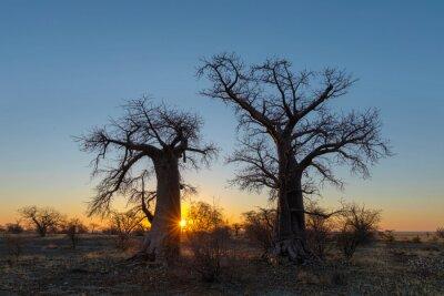 Sun starburst sunrise at baobab trees
