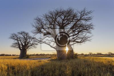 Sun-Stern sprengte bei Sonnenaufgang am Baobabbaum
