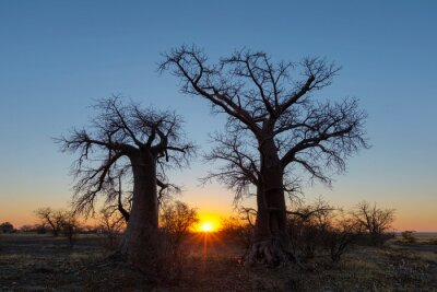 Sunrise between two baobab trees on Kukonje Island
