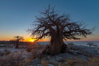 Sunset at baobab trees on Kubu Island