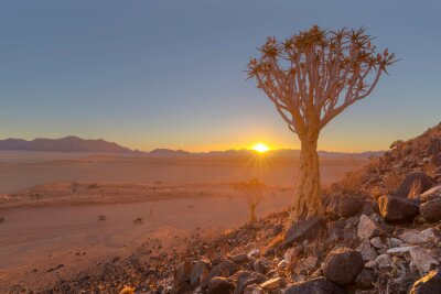 Sunset in the desert behind quiver tree between the rocks
