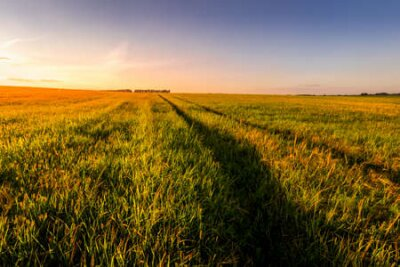 Poster Sunset or sunrise in an agricultural field with ears of young green wheat and a path through it on a sunny day. The rays of the sun pushing through the clouds. Landscape.