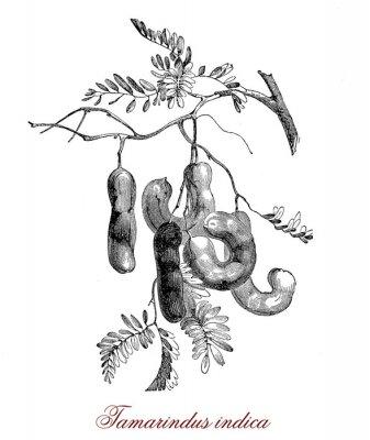 Poster Tamarindus indica