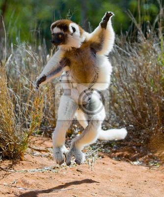 Tanzen Sifaka Springen. Madagaskar. Eine ausgezeichnete Illustration.