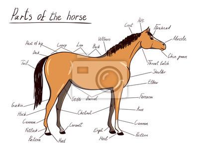 Teile des pferdes. pferdeartige anatomie. equestrian schema mit ...