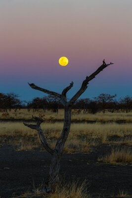 The full moon rise above a dead tree