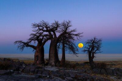 The full moon rise behind baobab trees on Kubu Island