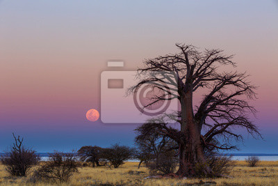 The full moon rise next to a large baobab tree