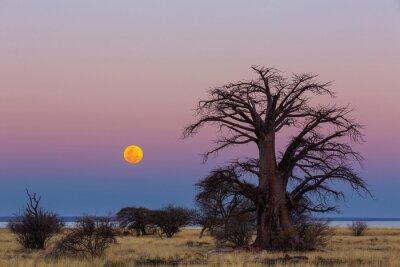 The full moon rise next to baobab tree on Kukonje Island